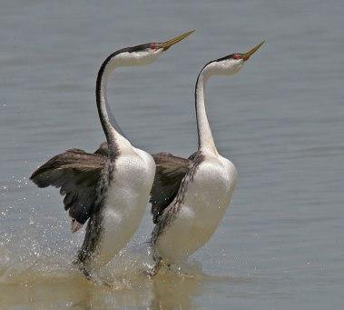 birds-dance